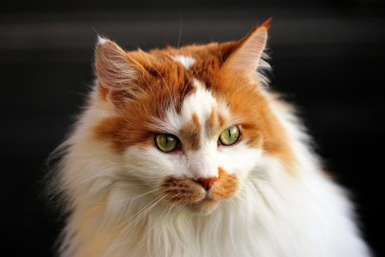 Daums Maine Coon