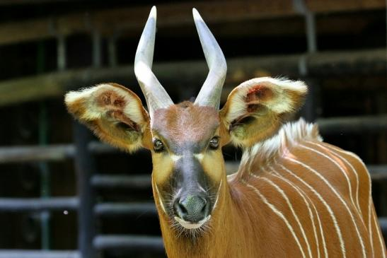 Bongo Antilope Zoo Frankfurt am Main 2017
