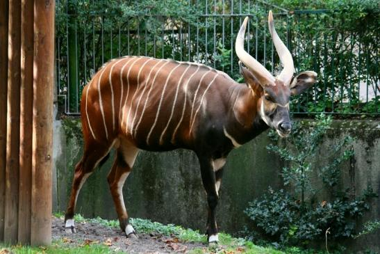 Bongo Antilope Zoo Frankfurt am Main 2011 - 2012
