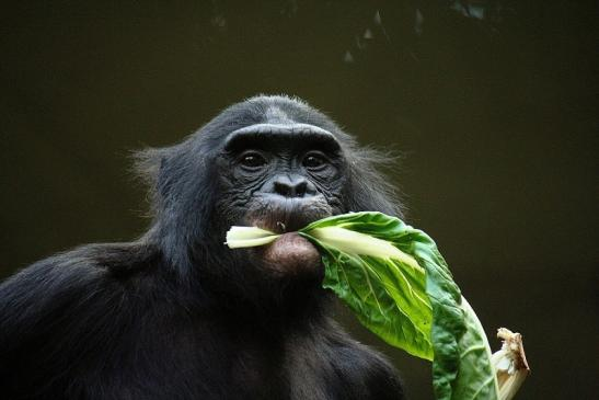 Bonobo Zoo Frankfurt am Main 2011