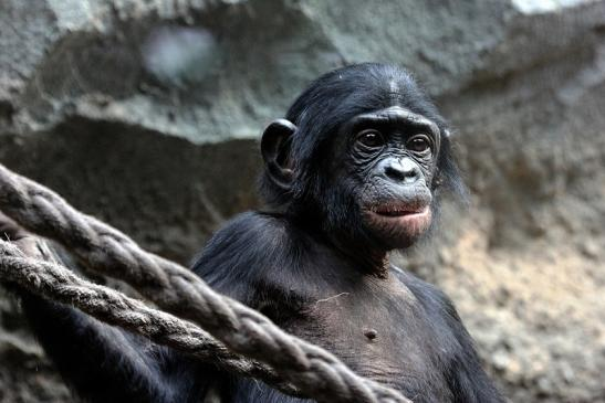 Bonobo Zoo Frankfurt am Main 2012
