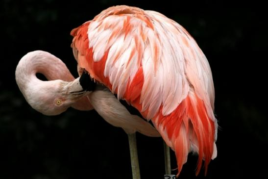 Chileflamingo Zoo Frankfurt am Main 2011 - 2012