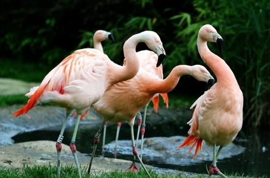 Chileflamingo Zoo Frankfurt am Main 2017