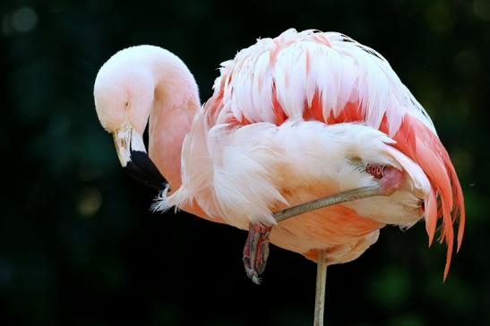Chileflamingo Zoo Frankfurt am Main 2018