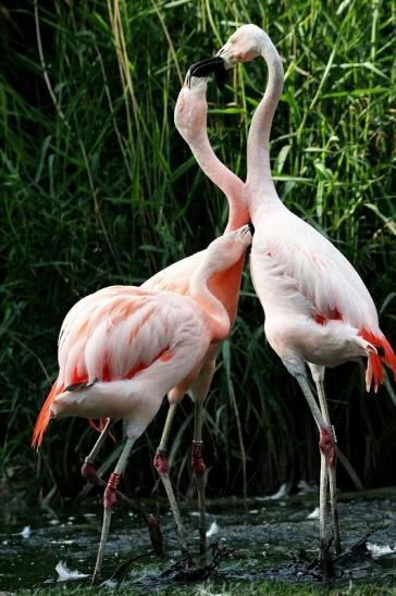 Chileflamingo Zoo Frankfurt am Main 2014