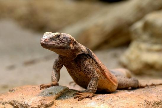 Chuckwalla Exotarium Zoo Frankfurt am Main 2017