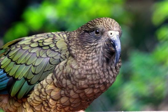 Kea Zoo Frankfurt am Main 2016