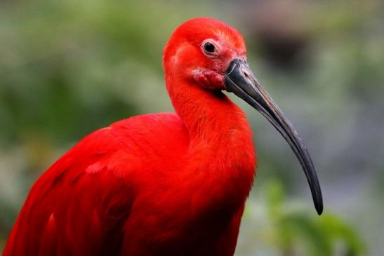 Roter Ibis Zoo Frankfurt am Main 2013 VB