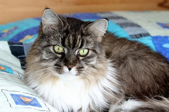 Unsere Maine Coon Diana 2020